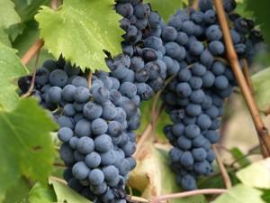 uva-rossa grappolo
